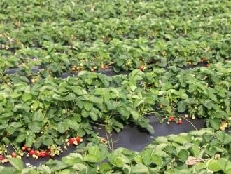 Qualität Erdbeeren