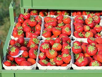 Erdbeeren Qualität