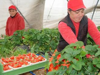 Erdbeerpflücker